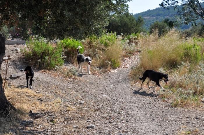 Groźna wataha psów zbliża się do wędrowców w celu wymuszenia drapania po brzuszku