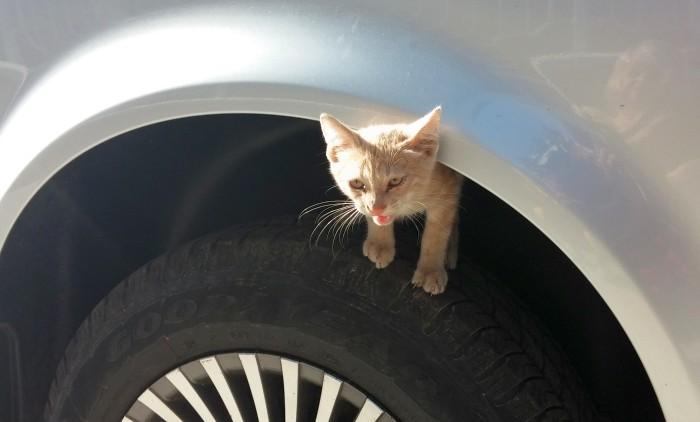 Kotek z Çanakkale woli nie jechać do Hiszpanii