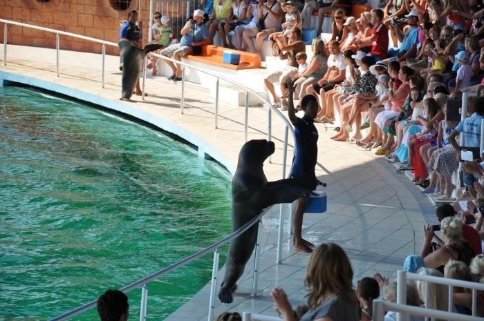 Przywitanie lwa morskiego z publicznością