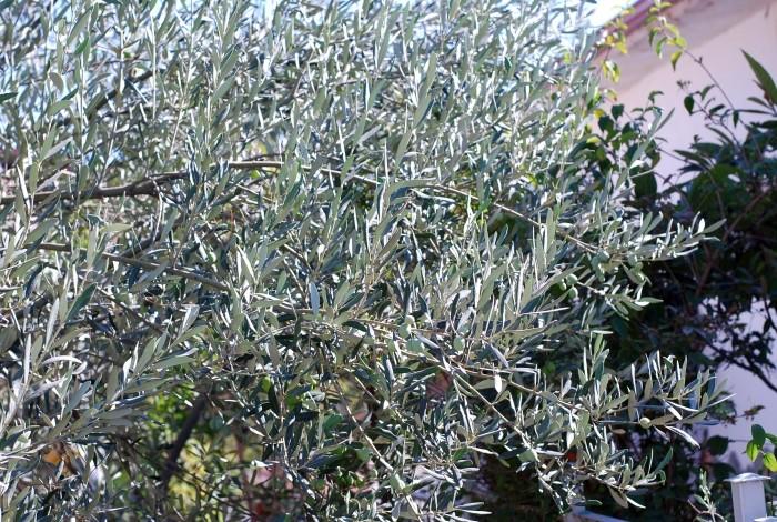 Drzewo oliwne w Burhaniye