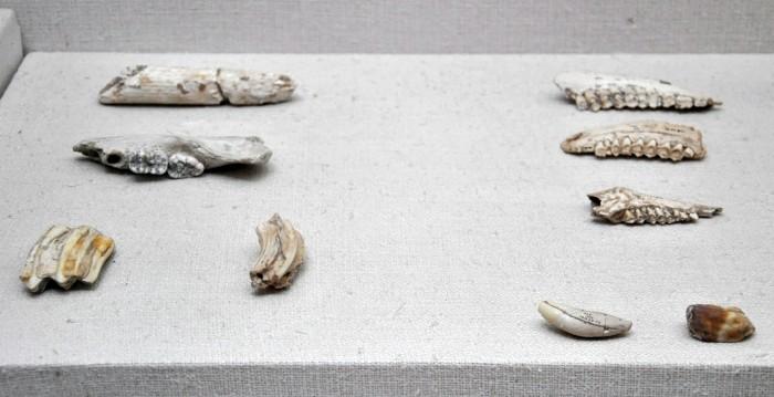 Szczątki zwierzęce z jaskini Karain - zbiory Muzeum Archeologicznego w Antalyi