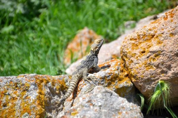 Jaszczurka z Binbirkilise